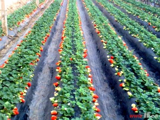 草莓采摘大鹏